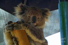 Sleepy Koala 3 Photograph by Naomi Burgess #koala #animals #photography