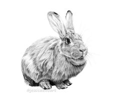 Graphite pencil rabbit drawing.