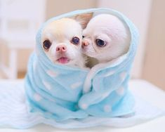 Effective Potty Training Chihuahua Consistency Is Key Ideas. Brilliant Potty Training Chihuahua Consistency Is Key Ideas. Tiny Puppies, Cute Dogs And Puppies, Baby Dogs, Doggies, Baby Animals Pictures, Cute Animal Pictures, Cute Little Animals, Cute Funny Animals, Baby Chihuahua
