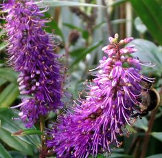 I must get more in touch with the New Zealand native Hebes planted in my garden. The first step is to photograph them all and note their flowering times (and colours). Purple Plants, Purple Flowers, Flower Names, Fresh Image, Cafe Menu, Garden Pool, Cacti And Succulents, Native Plants, Shrubs