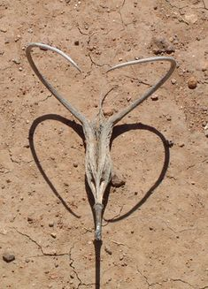Remember the Devil's Horn? Boy I do!Ever had one grab your ankle and you would remember the fear of the nearby Rattlesnakes setting in! LOL