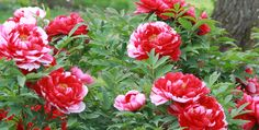Tree Peony Bloom Sequence - check out this peony website ... you can almost smell the fragrance of the peonies as you gaze at the pictures!  Mmm!!!
