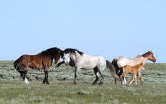 Rock Springs Wild Horses M134681