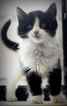 fluffy black and white kitten