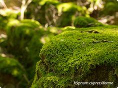 Hypnum Compresiform.