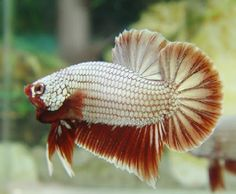 Phoenix Betta.....Latte, anyone?