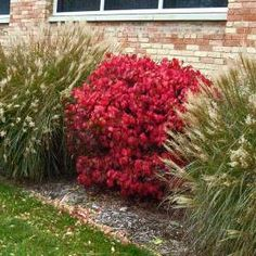 This fast growing burning bush features bright red foliage for weeks in the fall. Get some outstanding fall color with Euonymus alatus 'Compactus'. Red Shrubs, Evergreen Shrubs, Trees And Shrubs, Burning Bush Shrub, Euonymus Alatus Compactus, Landscaping Plants, Landscaping Ideas, Backyard Ideas, Part Shade Plants