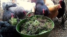 Fresh Eggs Daily®: Weeds A Nutritious, FREE Treat for your Backyard Chickens Chicken Feed, Chicken Eggs, Chicken Coops, Chicken Houses, Chicken Nuggets, Keeping Chickens, Raising Chickens, Raising Ducks, Down On The Farm