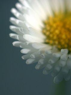 vvv English daisy