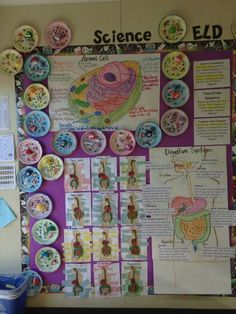 I will be making model cells using paper plates in future. This display looks fab! Science Cells, Science Biology, Science Lessons, Science Education, Science Activities, Life Science, Forensic Science, Science Ideas, Higher Education