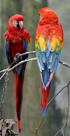 Description: Scarlet Macaw