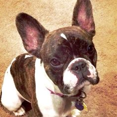 French Bulldog Puppy, What a face! ; ) ❤️