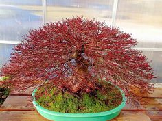Amazing! I have some type of Japanese Maple (I think) and wonder if I can get a baby from it and make that into a Bonsai.