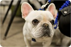sweet frenchie face!!