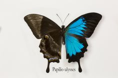 Mountain Blue Swallowtail Butterfly, Papilio ulysses,  photography by:  Darrell Gulin