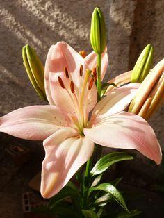 Lilium rosadin