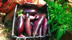 Eggplant, Vegetables, Youtube, Eggplants, Lawn And Garden, Vegetable Recipes, Youtubers, Veggies, Youtube Movies