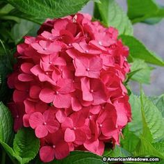 Yes, finally a red red hydrangea! Here's the all-new red Mophead. Your neighbors will be amazed! (Hydrangea macrophylla)