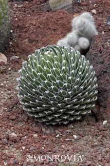 Queen victoria agave- this is quite the specimen!