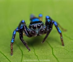 Metallic Blue Jumping Spider