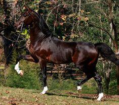 Optimist (Dutch Harness Horse) of Live Oak Arabians