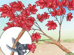 4 Ways to Make a Japanese Maple Bonsai Tree - wikiHow