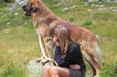 El Leonberger, también conocido como el Gentle León y el gigante apacible, es realmente un perro magnífico. Ponderación hasta 77 kilos, es una de las razas de perros más grandes del mundo. Esta raza es originaria de la ciudad de Leonberg en Baden-Wurttemberg, Alemania. La raza fue creada a propósito, …