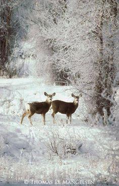 Winter deer credit Thomas D. Manglesen