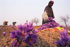 Saffron is a luxurious herb that has been used in skincare for centuries for a fairer, brighter complexion. The antibacterial property of Saffron kills the bacteria in the skin. Saffron Plant, Saffron Tea, Saffron Crocus, Saffron Flower, Plant Lighting, Forest Garden, Replant, Flower Tea, Ornamental Plants