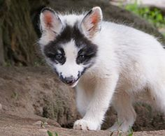 marble fox | Arctic Marble Fox these can actually be pets, ADORABLE