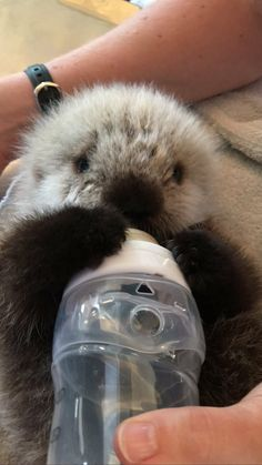 Aquarium on Vancouver Aquarium! Adorable Baby otter having a bottle from it's handler! God Bless it! Adorable Baby otter having a bottle from it's handler! God Bless it! Cute Little Animals, Cute Funny Animals, Animal Original, Baby Sea Otters, Otter Pup, Otters Cute, Tier Fotos, Cute Creatures, Animals And Pets