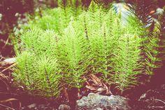 La décoction de prêle : un allié de taille pour lutter contre les maladies dues à des champignons - RAGT Jardin & Maison - Le Blog - Aveyron, Tarn, Lozère