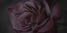 """Flowers in Neutral Moment-2015 """" Rose ( Black Tea ) """" Archival pigment print Printed on cotton rag fine art paper Photo by Soichi Oshika"""