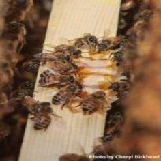 Using Essential Oils for Honeybees