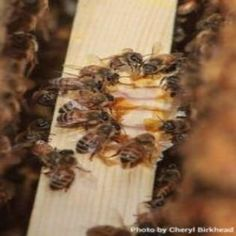 Essential oils can be a useful supplement for honeybees. Lemongrass, spearmint and thyme essential oils are being used to encourage brood development and the overall health of bees.