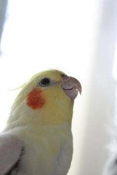 Just like my old cockatiel Lois. She was so pretty!