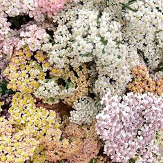 We love the delicate colours of this pretty achillea at Academy Florist, Winnipeg 📷 Summer Flowers, Wild Flowers, Beautiful Flowers, Plants Are Friends, Flower Aesthetic, Seasonal Flowers, Mother Nature, In This World, Planting Flowers