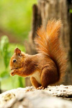 Kunstwerk: 'eekhoorn' van Rando Kromkamp Fox Squirrel, Squirrels, Animals And Pets, Cute Animals, All Nature, Cute Animal Pictures, Animal Sculptures, Chipmunks, Sloth