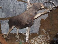 Moose taxidermy