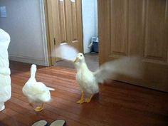 call ducks wanna fly? バサバサ好き