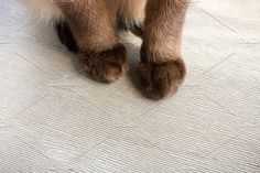 fluffy cat paws Photos Fluffy cat paws on a wooden backgroundBy purchasing this, you get one high-resolution imagesRGB by itakdalee