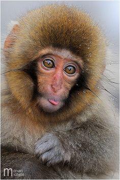 Built in Eskimo hood. Baby Animals, Funny Animals, Cute Animals, Animal Babies, Wild Animals, Mundo Animal, My Animal, Los Primates, Pygmy Marmoset