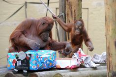 Dudley Zoo's Bornean orangutans Sprout and mum Jazz investigate their Christmas presents. Source:http://www.birminghammail.co.uk/news/midlands-news/orangutans-dudley-zoo-wake-up-8343742