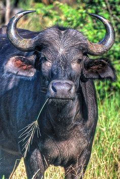 Buffalo - Kruger National Park, South Africa