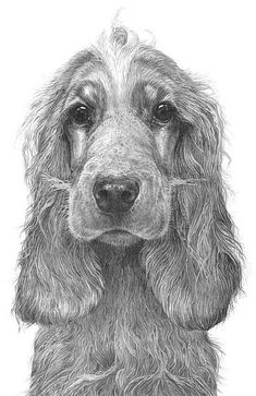 Cocker spaniel. Pencil drawing by Gary Hodges. #DogDrawing