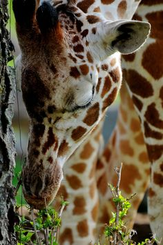 Stopping to smell the flowers - giraffe Safari Animals, Animals And Pets, Cute Animals, Wild Animals, Giraffe Pictures, Animal Pictures, Beautiful Creatures, Animals Beautiful, Okapi