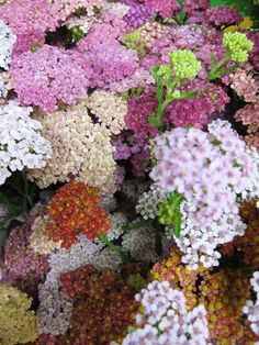 yarrow and the importance of natural ingredients for organic skin care: http://lilyfarmfreshskincare.com/index.php/ingredients-everything-organic-skin-care/