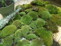 Live Moss MIx/ Lichens for Terrarium Kit Bonsai Combo Garden Crafts. $15.89, via Etsy.