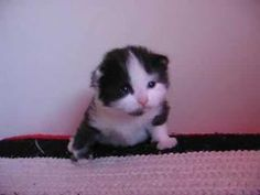 Moo Mooing. Adorable little cute kitten!!!!!