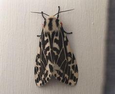 Kim's moth